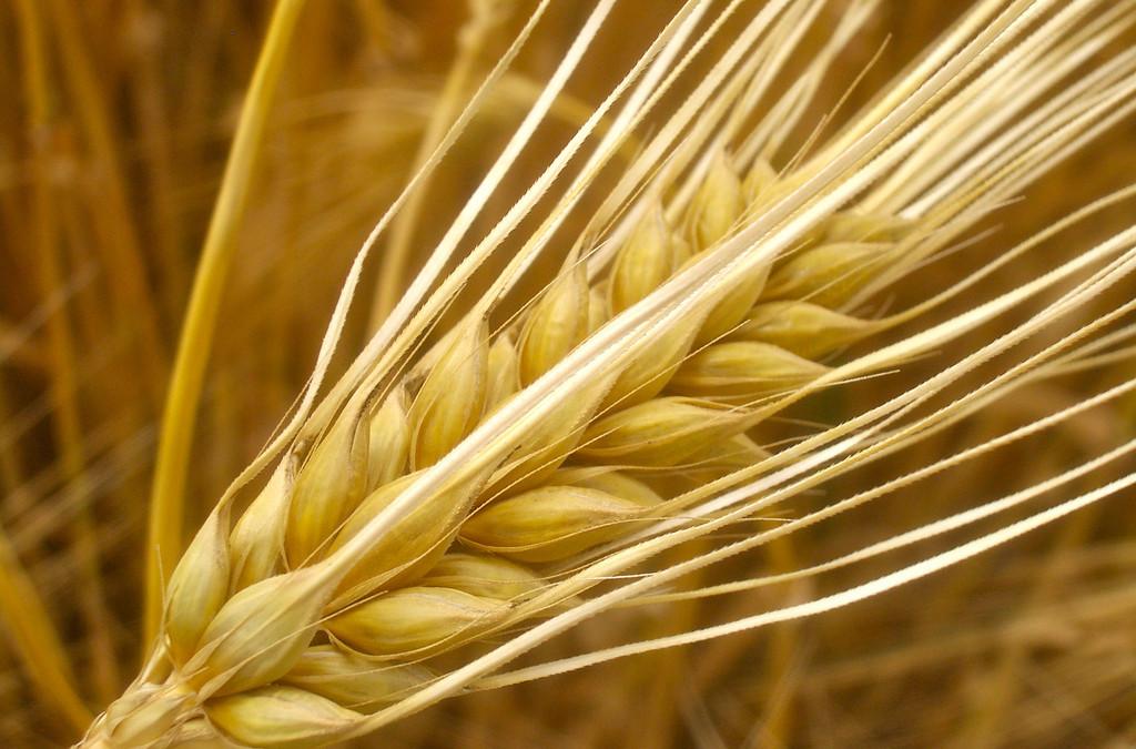 Barley, a Nutritional Powerhouse